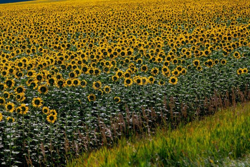 Campo dei girasoli gialli fotografia stock