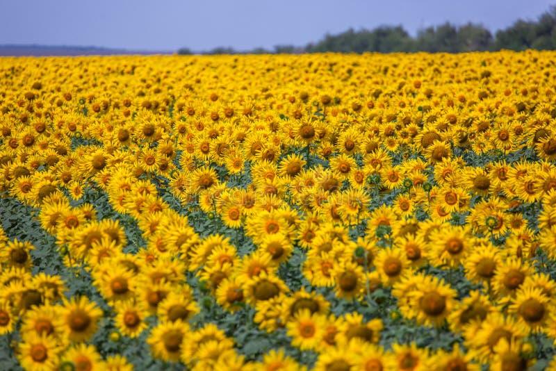 Campo dei girasoli gialli immagine stock