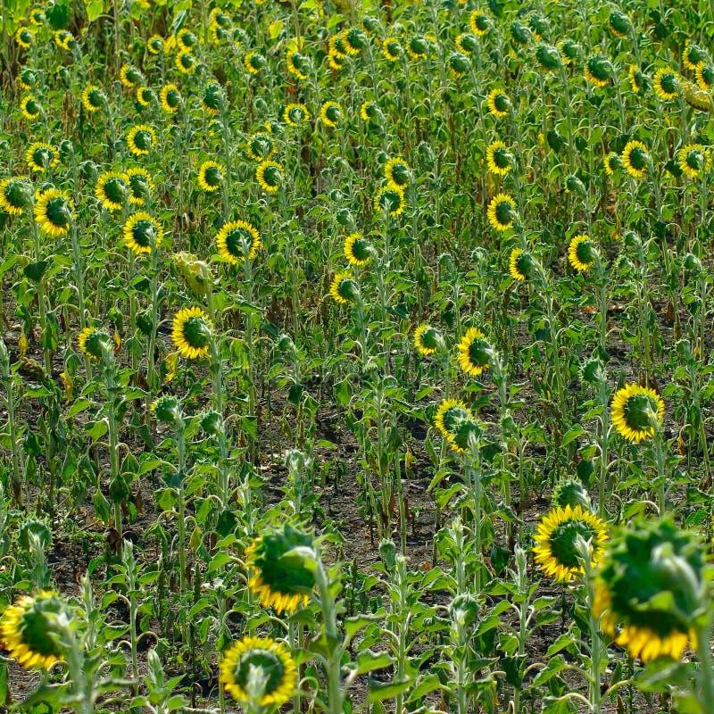 Campo dei girasoli nel villaggio immagine stock