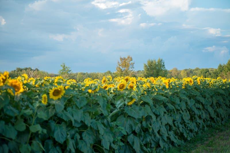 Campo dei girasoli in piena fioritura immagine stock libera da diritti