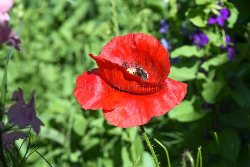 Download Campo dei papaveri fotografia stock. Immagine di agricoltura - 117979540
