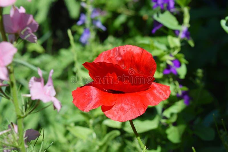 Download Campo dei papaveri fotografia stock. Immagine di botanica - 117979566
