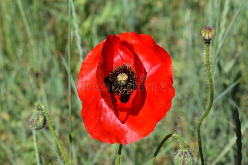 Download Campo dei papaveri fotografia stock. Immagine di fiore - 117979638