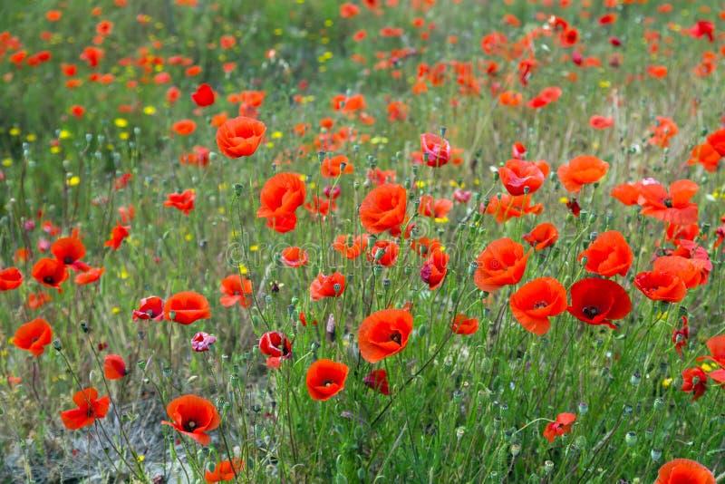Download Campo Dei Papaveri Selvatici Fotografia Stock - Immagine di fiori, pianta: 56877568