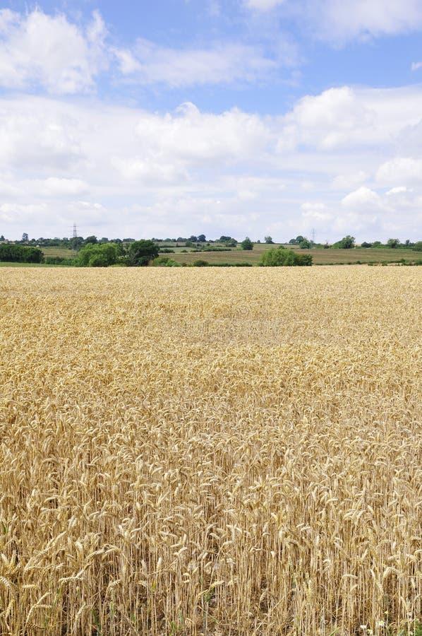 Campo dei raccolti del cereale fotografie stock libere da diritti