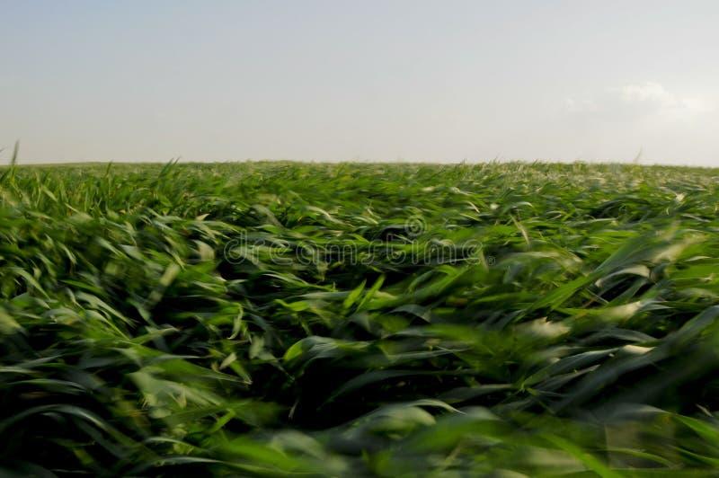 Campo dei raccolti verdi saltato da vento immagini stock libere da diritti