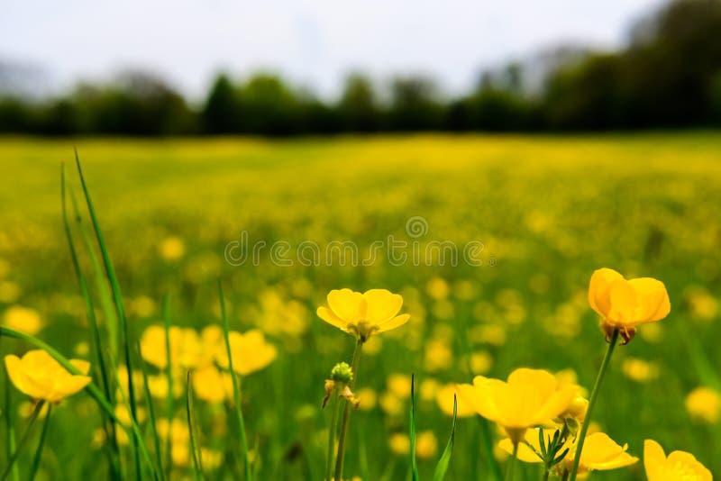 Campo dei ranuncoli selvatici veduti su un prato di estate in Inghilterra fotografia stock