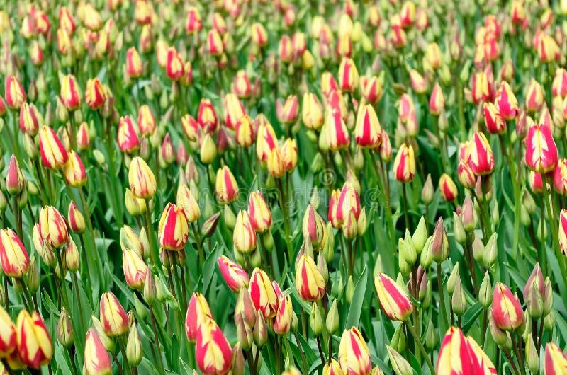 Campo dei tulipani bicolori nel giardino di Keukenhof, Paesi Bassi immagini stock libere da diritti
