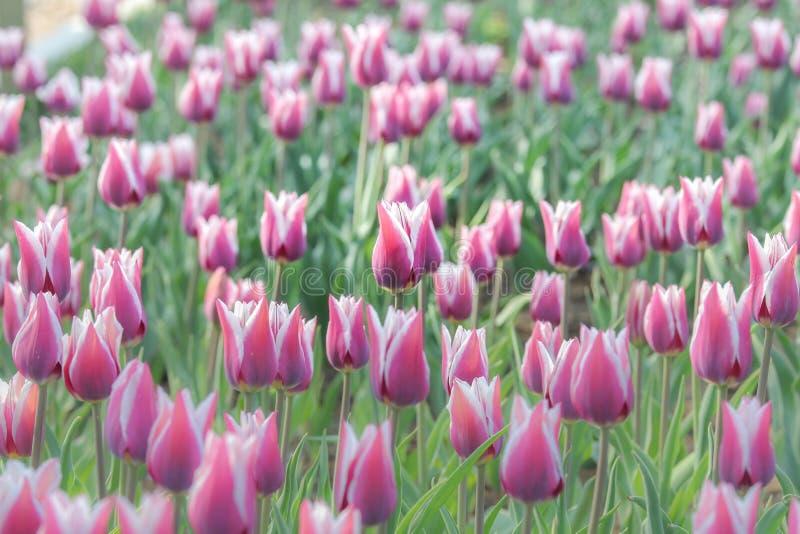 Campo dei tulipani dentellare fotografie stock libere da diritti