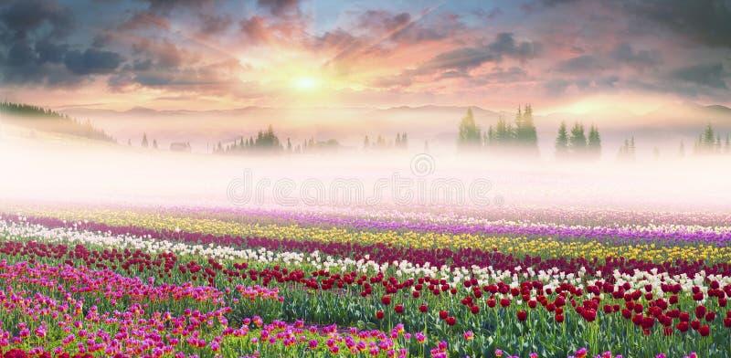 Campo dei tulipani nella nebbia fotografia stock libera da diritti