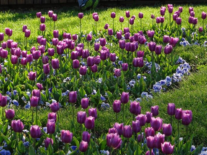 Campo dei tulipani porpora e blu e dell'erba verde nell'ambito di luce solare fotografia stock libera da diritti