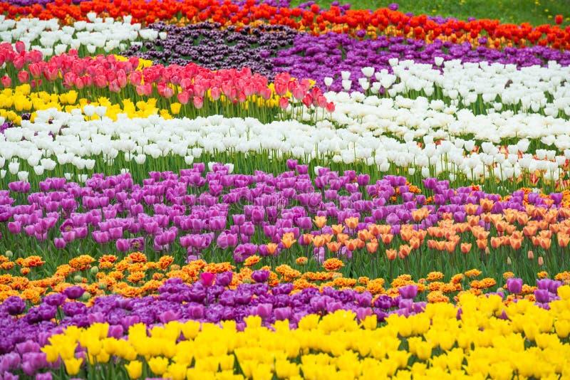 Campo dei tulipani variopinti dei fiori fotografia stock