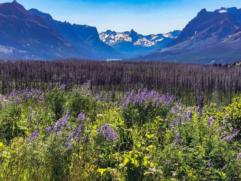 Campo dei wildflowers porpora al Glacier National Park fotografia stock libera da diritti