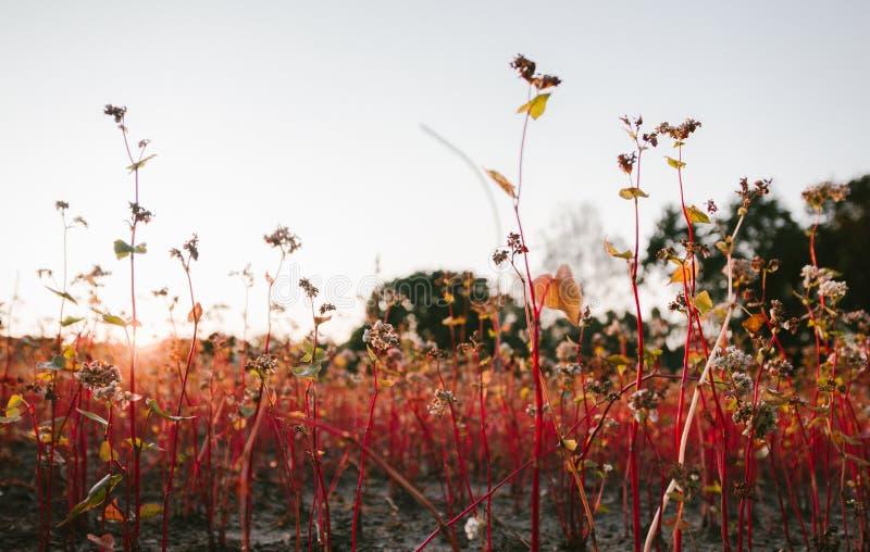 Campo del alforfón en los días del verano pasado en la puesta del sol, foco selectivo imagenes de archivo