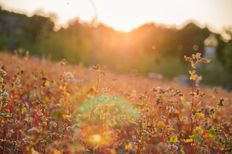 Campo del alforfón en los días del verano pasado en la puesta del sol, foco selectivo fotos de archivo