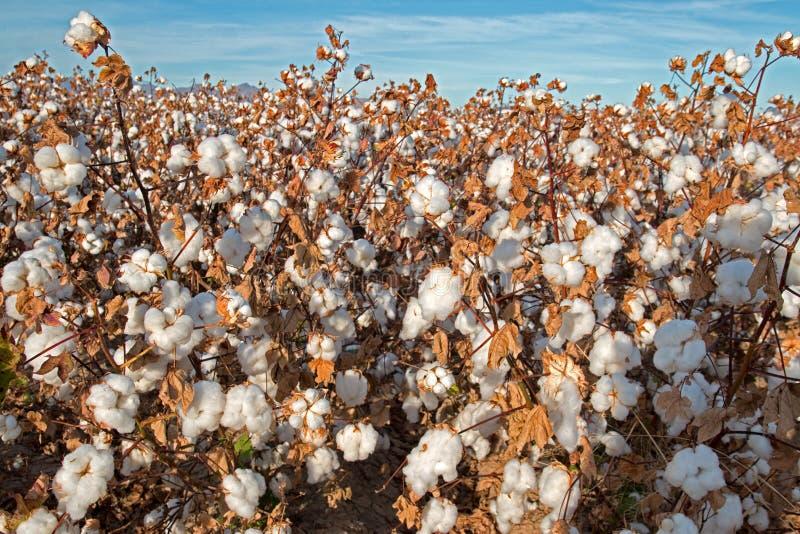 Campo del algodón de Pima imágenes de archivo libres de regalías
