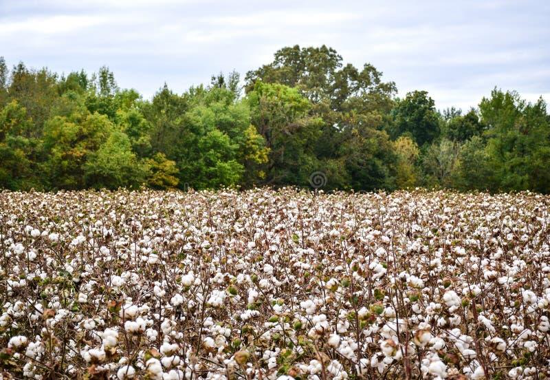 Campo del algodón listo para la cosecha imagen de archivo libre de regalías