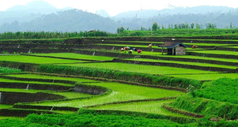 Campo del arroz fotos de archivo
