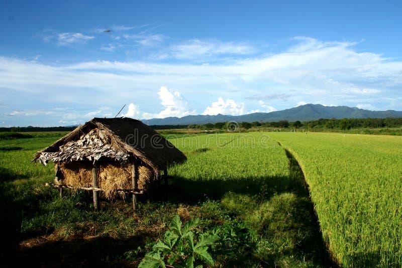 Campo del arroz foto de archivo
