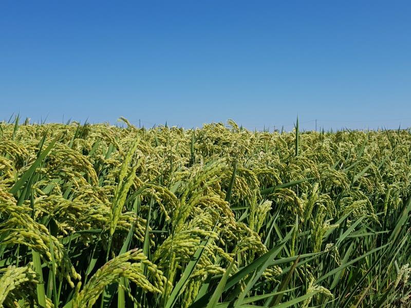 Campo del arroz con el cielo azul fotografía de archivo libre de regalías