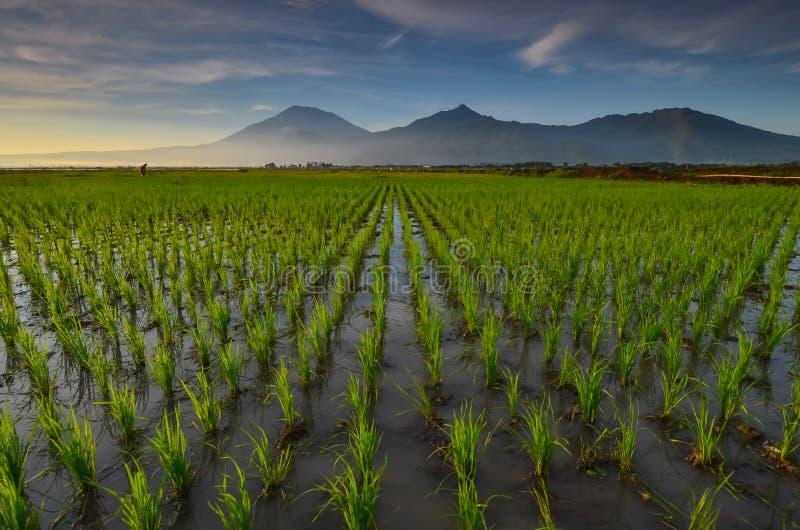 Campo del arroz con el fondo de la monta?a fotos de archivo