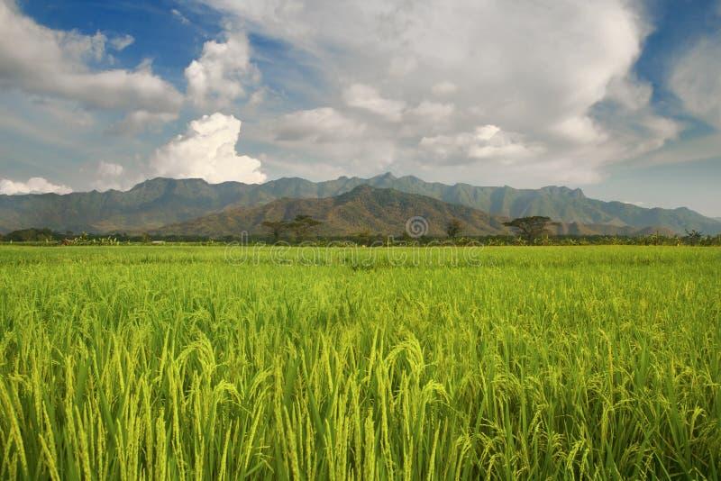 Campo del arroz con Mountain View foto de archivo libre de regalías