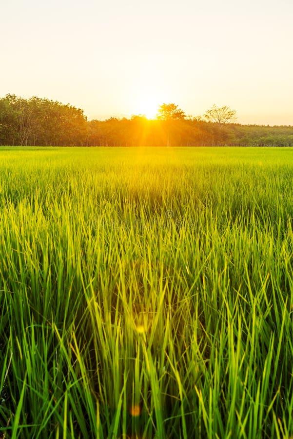 Campo del arroz con salida del sol o puesta del sol en luz moning imagenes de archivo