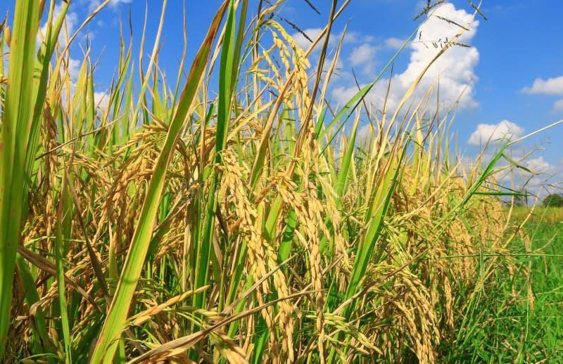 Campo del arroz de arroz con el cielo azul para el fondo fotos de archivo libres de regalías