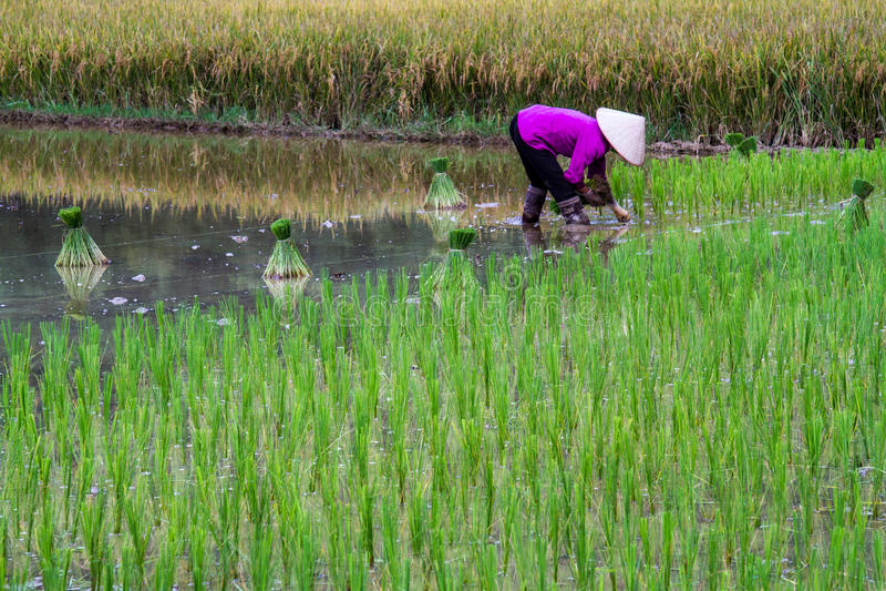 Campo del arroz de Bac Son imágenes de archivo libres de regalías