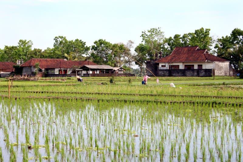 Campo del arroz de Bali fotografía de archivo libre de regalías