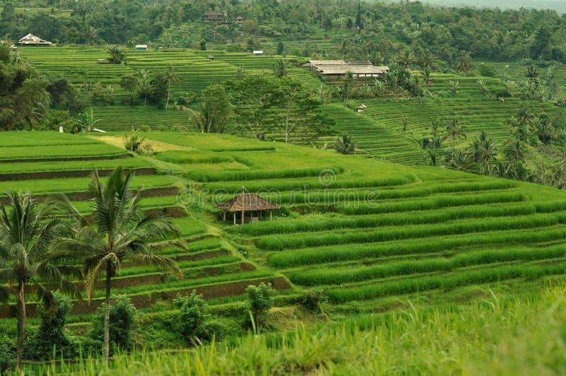 Campo Del Arroz De La Terraza Bali Indonesia Imagen De