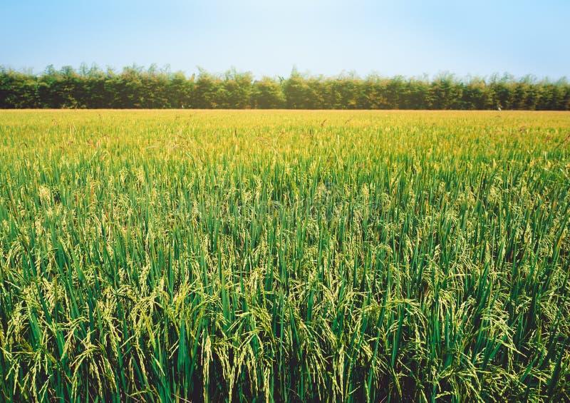 Campo del arroz debajo del sol imagen de archivo