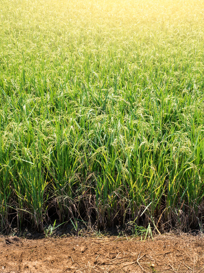 Campo del arroz debajo del sol fotos de archivo libres de regalías