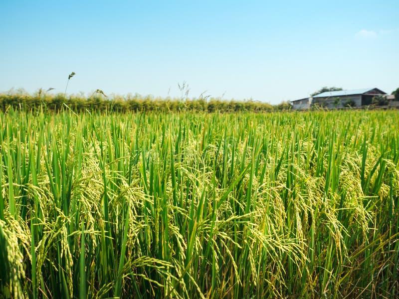 Campo del arroz debajo del sol y del cielo azul del claro imágenes de archivo libres de regalías