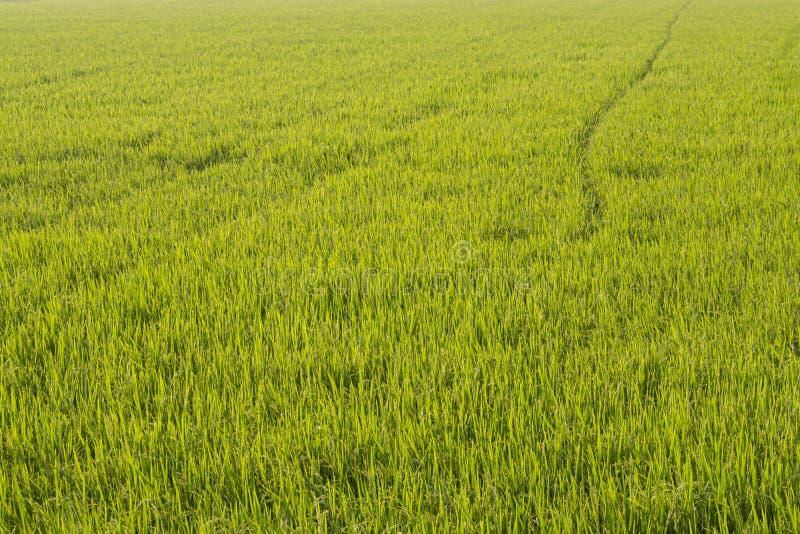 Campo del arroz en el tiempo de la salida del sol para el fondo Amanecer en campo de trigo verde foto de archivo libre de regalías