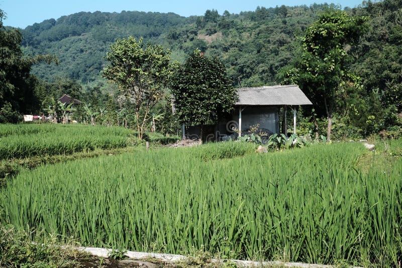 Campo del arroz en Indonesia imagenes de archivo