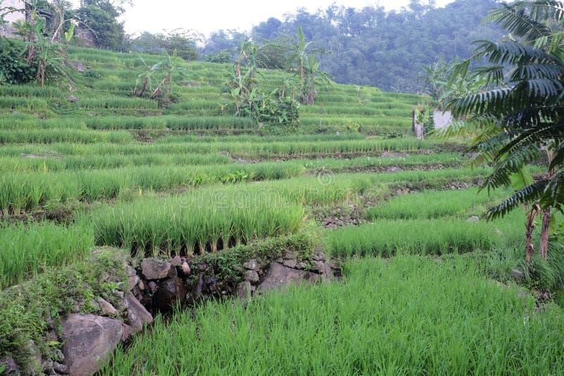 Campo del arroz en Indonesia fotos de archivo libres de regalías