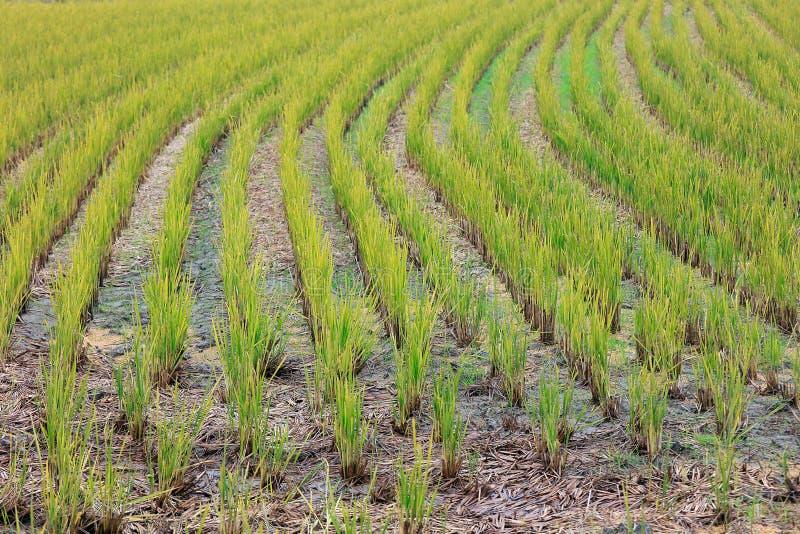 Campo del arroz en la tierra fotos de archivo