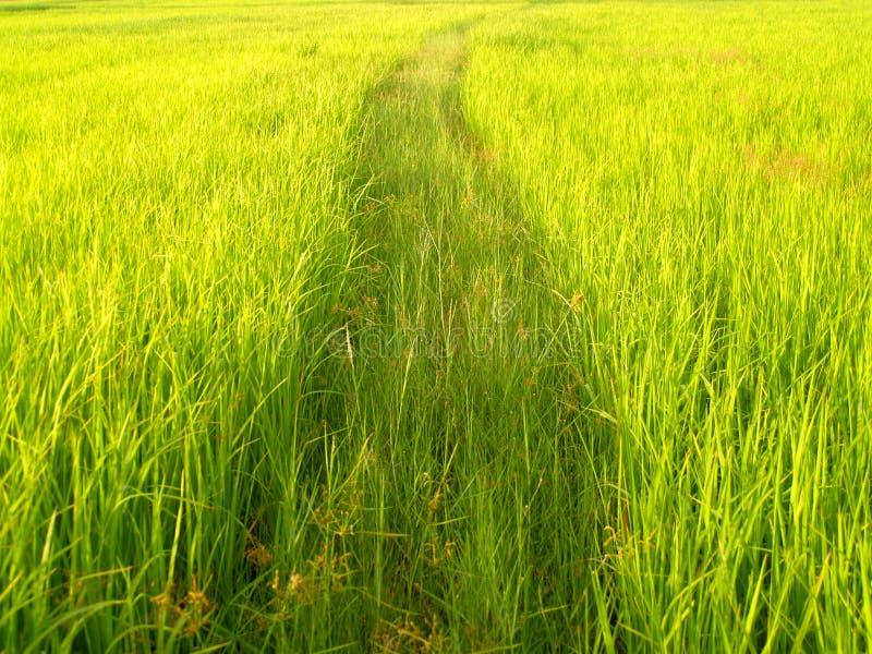 Campo del arroz en Tailandia 1 fotos de archivo