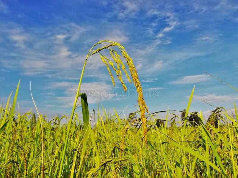 Campo del arroz en Tailandia fotos de archivo libres de regalías