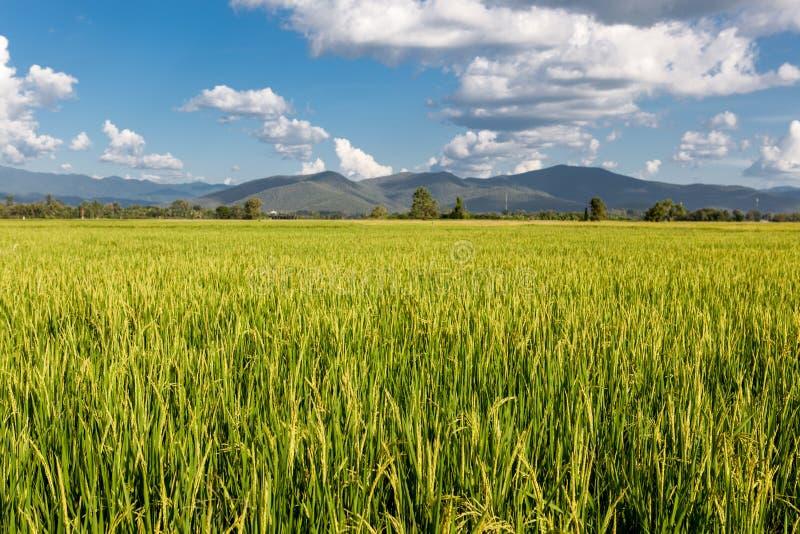 Campo del arroz en Tailandia imagenes de archivo