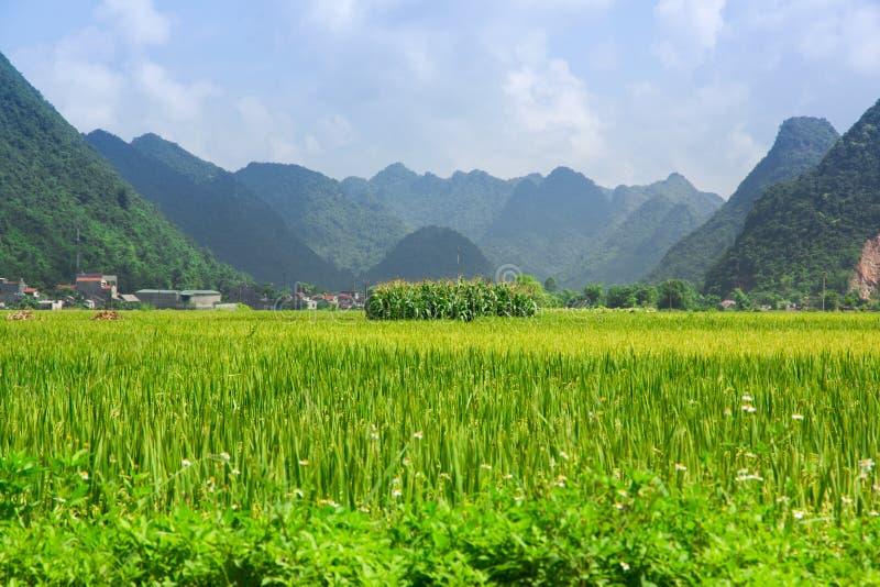 Campo del arroz en valle en Bac Son, Vietnam fotografía de archivo