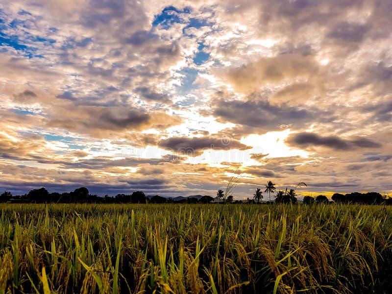 Campo del arroz por la tarde fotos de archivo libres de regalías