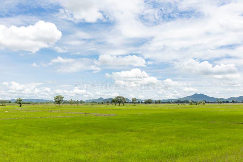 Campo del arroz y cielo azul imagen de archivo