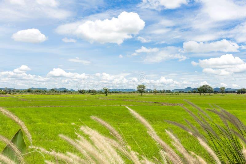 Campo del arroz y cielo azul fotografía de archivo libre de regalías