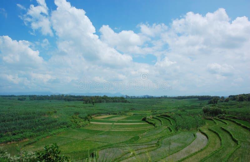 Campo del arroz y el cielo azul fotografía de archivo