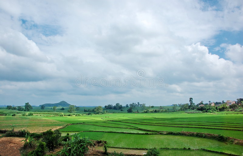 Campo del arroz y el cielo azul fotografía de archivo libre de regalías