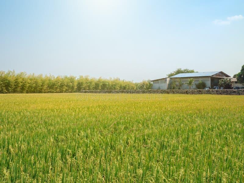 Campo del arroz y un granero debajo del sol y del cielo azul del claro foto de archivo libre de regalías