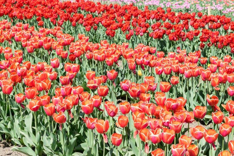 Campo del azúcar de Brown hermoso de los tulipanes imagen de archivo