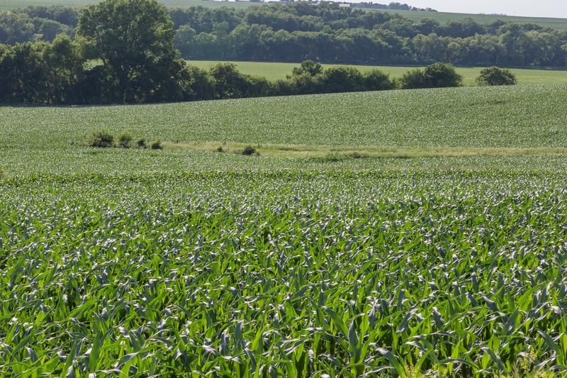 Campo del balanceo del campo de maíz joven en alguna parte en Omaha Nebraska fotografía de archivo